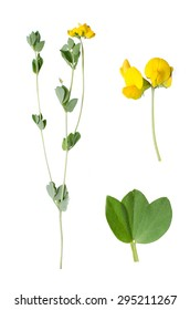Lotus corniculatus with deatils of bloom and leaf beside isolated on white background.