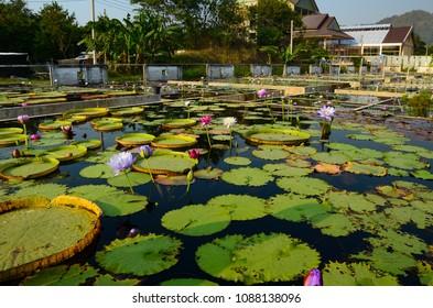 Lotus farm, Agriculture
