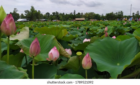蓮の畑。 池に咲く美しいピンクと白のスイレンや蓮の花。