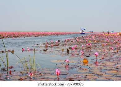 Lotus field open to tourists can be in the pond. Udon Thani, Thailand