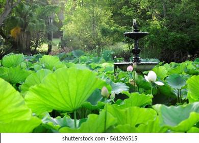 Lotus field at Royal Botanic Garden, Sydney, Australia
