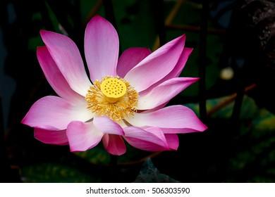 Lotto Flower Images Stock Photos Vectors Shutterstock