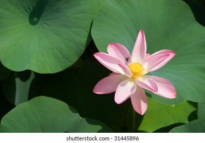 A lotus flower amongst leaves