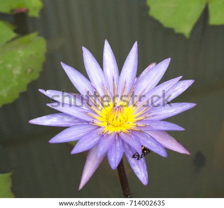 Lotus Flower Another Popular Type Planted Stock Photo Edit Now