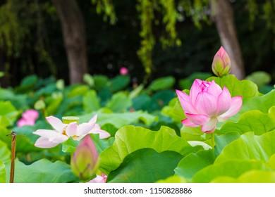Lotus Flower.The back is the  lotus leaf and lotus flower and bud of the lotus and tree.Shooting location is Yokohama, Kanagawa Prefecture Japan.