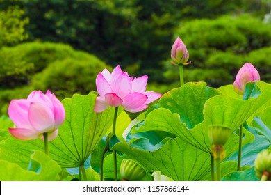 Lotus Flower.The back is the  lotus leaf  bud of the lotus and trees.Shooting location is Yokohama, Kanagawa Prefecture Japan.