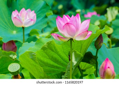 Lotus Flower.The back is the  lotus leaf and lotus flower and bud of the lotus.Shooting location is Yokohama, Kanagawa Prefecture Japan.