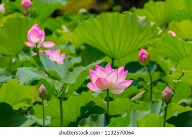 Lotus Flower.The back is the  lotus leaf and lotus flower.Shooting location is Yokohama, Kanagawa Prefecture Japan.