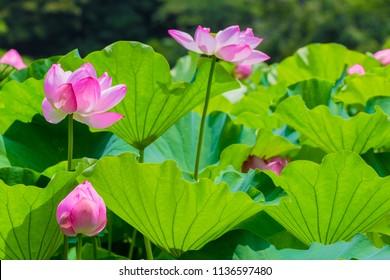 Lotus Flower.The back is the  lotus leaf and lotus flower and trees.Shooting location is Yokohama, Kanagawa Prefecture Japan.
