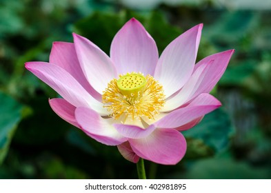 lotus flower background