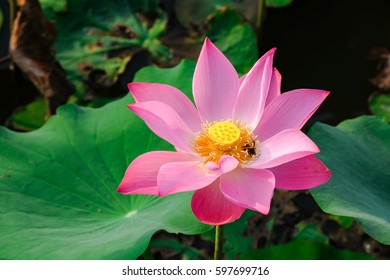 The Lotus Flower. Background is the lotus leaf and lotu flower and lotu bud and lotu flower