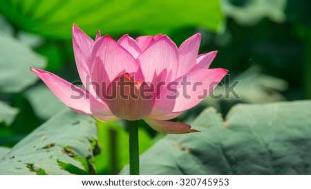 Lotus Flower Background Lotus Symbol Vietnamese Stock Photo Edit