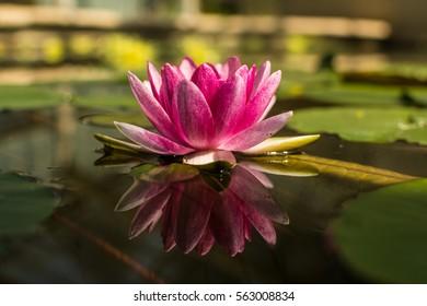 lotus flower beautiful closeup