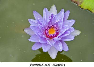 lotus flower, beautifull water lilly