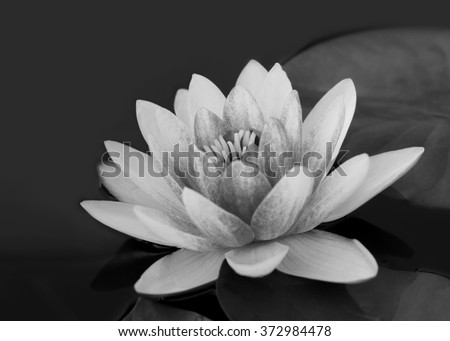 Lotus Flower Black White Stock Photo (Edit Now) 372984478 - Shutterstock