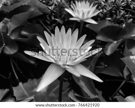 Lotus Flower Black White Color Bloom Stock Photo (Edit Now ...