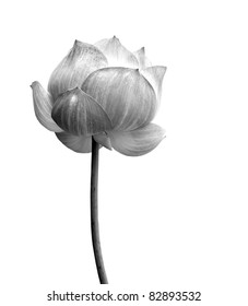 Lotus flower in black and white isolated on white background.