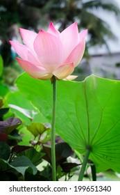lotus flower bloom