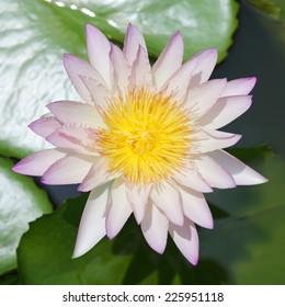 Lotus flower blooming exposure the sun