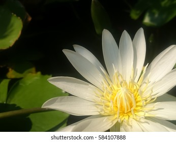 Lotus flower blooming on a quiet pond. Focus on stamen