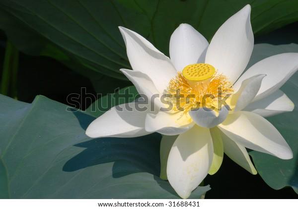Lotus Flower in Blossom