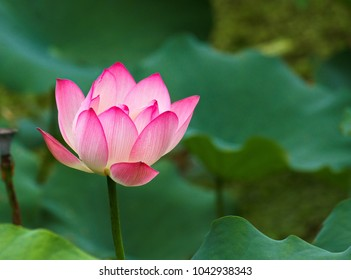 Lotus flower blossom  with green stem and petals and pink up at blur green leaf background in Lion Nature Education Centre Sai Kung Hong Kong on 27 May 2017
