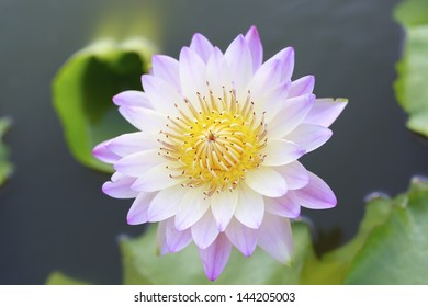 lotus flower blossom in the pool