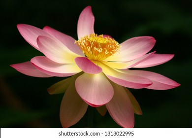 Lotus In Mud Images Stock Photos Vectors Shutterstock