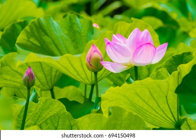 The Lotus Flower and Lotus Flower bud.Background is the lotus leaf and lotus bud.Shooting location is Yokohama, Kanagawa Prefecture Japan.