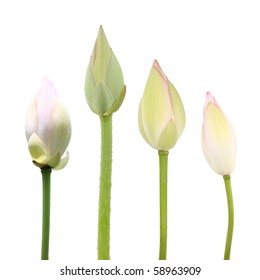 lotus flower buds isolated on white