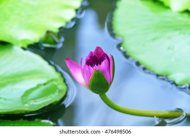 Lotus Flower Of Colour Purple Witch Soft Focus Background Images