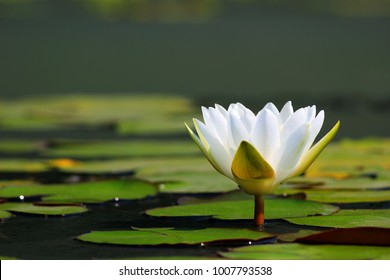 Lotus flower Ellisiana or Tubtim Siam Water Lily on pond