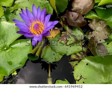Lotus flower flowers buddhism buddhists used stock photo edit now lotus flower is flowers of buddhism buddhists used this flower to pray for the buddha mightylinksfo