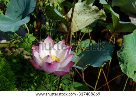 Lotus Flower Full Blossom Early Morning Stock Photo Edit Now