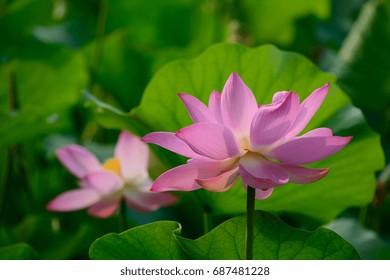 Lotus flower full blossom in the garden.