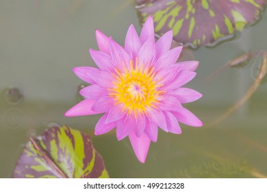 Lotus flower with green lotus leaf blurry background:Close up,select focus with shallow depth of field.