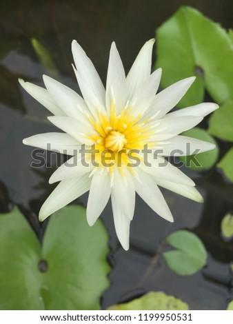 Lotus Flower Grown Water This Type Stock Photo Edit Now 1199950531