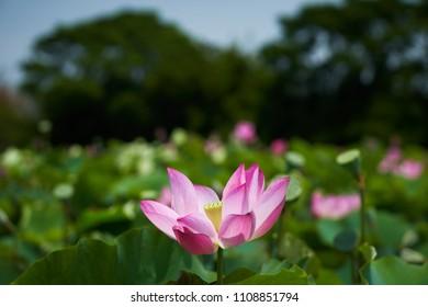 Lotus Flower from Guanyin District, Taoyuan, Taiwan.