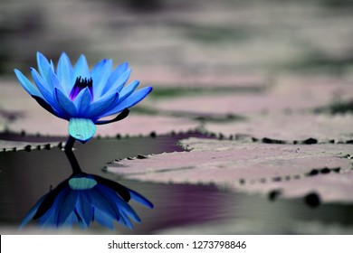 lotus flower hd background and wallpaper