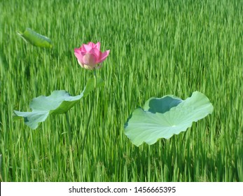lotus flower: High quality lotus image. The image of a beautiful lotus in the morning. Hoa sen vietnam images