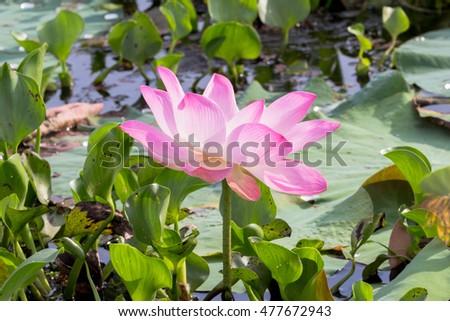 Lotus Flower Inside Big Lagoon Must Stock Photo Edit Now 477672943