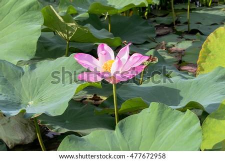 Lotus Flower Inside Big Lagoon Must Stock Photo Edit Now 477672958