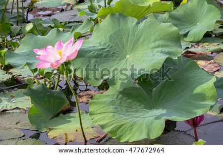 Lotus Flower Inside Big Lagoon Must Stock Photo Edit Now 477672964