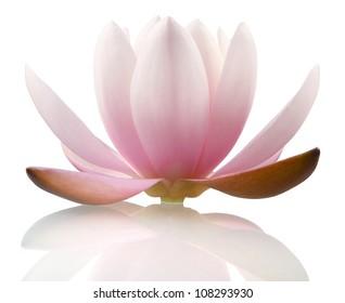 Lotusblume einzeln auf Weiß