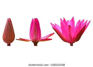 lotus flower isolated on white background, pink water lily