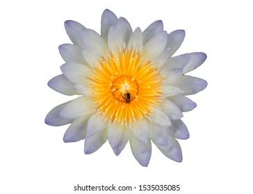 lotus flower isolated on white background.