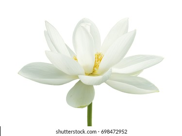 White lotus flower images stock photos vectors shutterstock lotus flower isolated on white background mightylinksfo