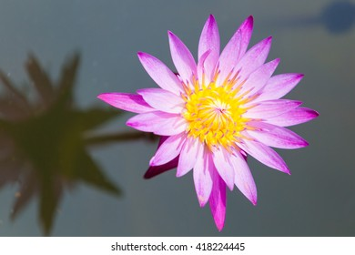 lotus flower isolated in water