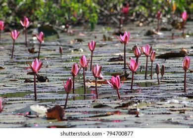 Lotus Flower in Lake