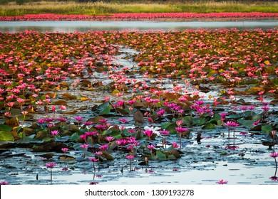 Lotus Flower Lake, standing water full of tropical water plants